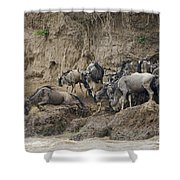 Wildebeests Crossing Mara River, Kenya Shower Curtain
