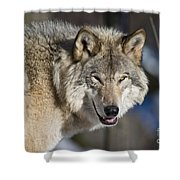 Timber Wolf Pictures Shower Curtain