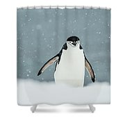 Chinstrap Penguin  Pygoscelis Shower Curtain