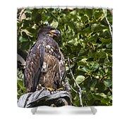 Juvenile Bald Eagle Shower Curtain