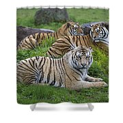 Siberian Tigers, China Shower Curtain