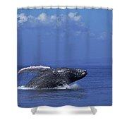Humpback Whale Breaching Maui Hawaii Shower Curtain