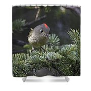 Rubycrowned Kinglet Shower Curtain