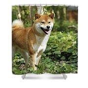 Shiba Inu Dog Shower Curtain