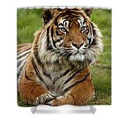 Tigre De Sumatra Panthera Tigris Shower Curtain
