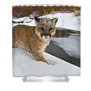 Mountain Lions In The Western Mountains Shower Curtain