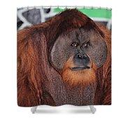 Portrait Of A Large Male Orangutan Shower Curtain