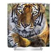 A Bengal Tiger Portrait Endangered Species Wildlife Rescue Shower Curtain