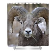 A Big Ram Caught With His Mouth Full Shower Curtain