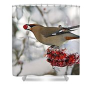 A Bohemian Waxwing Feeding On Mountain Shower Curtain