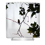 A Brown Thrasher Sings In Sycamore Tree Shower Curtain