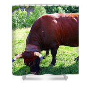 A Bull  Grazing On The Meadow Shower Curtain