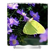 A Clouded Sulphur On Lavender Mums Shower Curtain