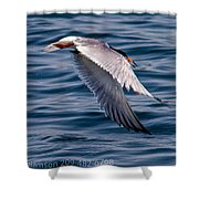 A Common Tern Shower Curtain