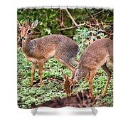 A Couple Of Dik-dik Antelopes In Tanzania. Africa Shower Curtain
