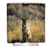 A Coyote Canis Latrans Stares Shower Curtain