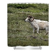 A Dall Ram's Curl Shower Curtain