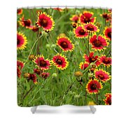 a field of Indian Blankets Shower Curtain