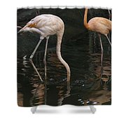 A Flamingo With Its Head Under Water In The Jurong Bird Park Shower Curtain