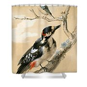 A Great Spotted Woodpecked And Another Small Bird Shower Curtain