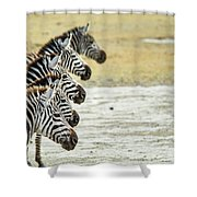 A Grevys Zebra In Ngorongoro Crater Shower Curtain