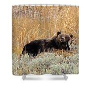 A Grizzily On A Buffalo Carcass Shower Curtain