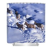 A Group Of Bighorn Sheep Ovis Shower Curtain