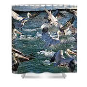 A Group Of Pelicans Shower Curtain