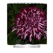 A Happy Birthday Wish With An Elegant Maroon And Pink Mum Shower Curtain