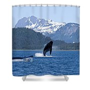 A Humpback Whale Calf Breaches As Its Shower Curtain
