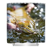 A Large Cutthroat Being Released Shower Curtain