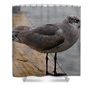 A Laughing Gull Shower Curtain