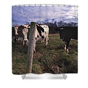 A Lot Of Bulls Shower Curtain by Skip Willits
