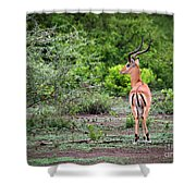 A Male Impala In Lake Manyara National Park. Tanzania. Africa. Shower Curtain