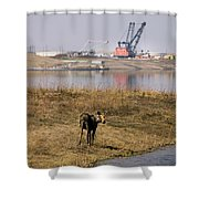 A Moose Walks On The On Reclaimed Land Shower Curtain