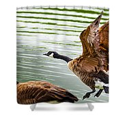 A Pair Of Canada Geese Landing On Rockland Lake Shower Curtain