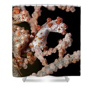 A Pair Of Pygmy Seahorse On Sea Fan Shower Curtain