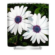 A Pair Of White African Daisies Shower Curtain