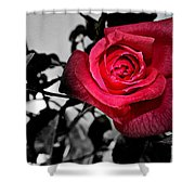 A Pop Of Red - Rose  Shower Curtain