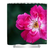 A Pretty Pink Rose Shower Curtain