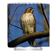 A Red Tail Hawk Shower Curtain