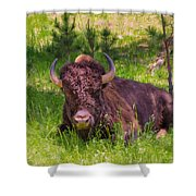 A Resting Bison Shower Curtain