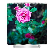 A Rose Blooms Shower Curtain
