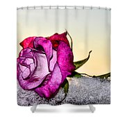 A Rose In Winter Shower Curtain