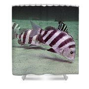 A School Of Sheepshead Feeding Shower Curtain by Michael Wood