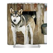 A Sled Dog Stands By Its Kennel Shower Curtain