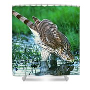 A Wild Juvenile Cooper's Hawk Drinks From A Pond Shower Curtain