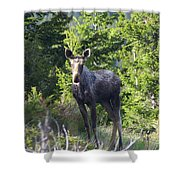 A Young Moose  Shower Curtain