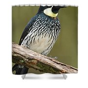 Acorn Woodpecker Melanerpes Shower Curtain
