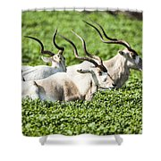 Addax Nasomaculatus Shower Curtain